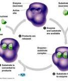 Tính đặc hiệu của enzyme