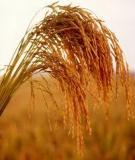 Chế độ tưới cho lúa cấy