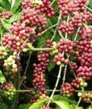 Chế độ tưới nước cho cây cà phê