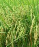 Chế độ tưới cho lúa gieo thẳng