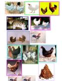 Hình ảnh gia súc