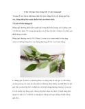 13 lợi ích bạn chưa từng biết về cây húng quế