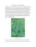 Hương nhu tía – Vị thuốc giải cảm