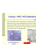 BIỂU MÔ (Epithelial tissue)