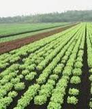 Thực trạng sản xuất rau ở Việt Nam