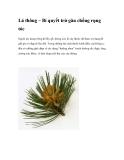 Lá thông – Bí quyết trừ gàu chống rụng tóc