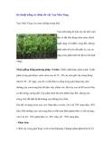 Kỹ thuật trồng và chăm sóc cây Vạn Niên Tùng