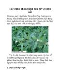 Tác dụng chữa bệnh của cây cỏ nhọ nồi