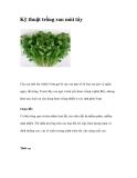 Kỹ thuật trồng rau mùi tây