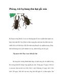 Phòng, trừ bọ hung đen hại gốc mía