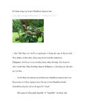 Kỹ thuật trồng cây Sa-pô (Manilkara Zapota,Linn)