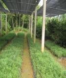 Kỹ thuật vườn ươm chè cành, chè hạt