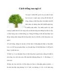Cách trồng rau ngò rí