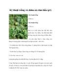 Kỹ thuật trồng và chăm sóc dưa hấu (p1)