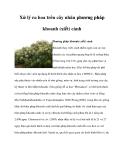 Xử lý ra hoa trên cây nhãn phương pháp khoanh (xiết) cành