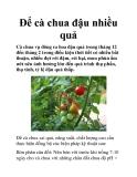 Để cà chua đậu nhiều quả