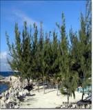 Quy trình kỹ thuật trồng rừng phi lao (Casuarina equisetifolia Forst)