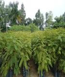 Quy trình kỹ thuật trồng rừng muồng đen (Cassia siamea Lam)
