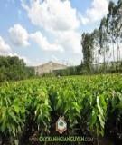 Quy trình kỹ thuật trồng rừng dầu rái