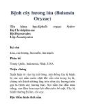 Bệnh cây hương lúa (Balansia Oryzae)