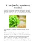 Kỹ thuật trồng ngò rí trong mùa mưa