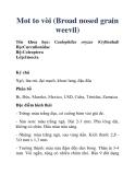 Mot to vòi (Broad nosed grain weevil)