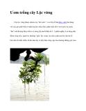 Ươm trồng cây Lộc vừng