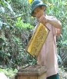 Kỹ thuật nuôi ong trước và trong vụ khai thác mật hoa bạch đàn
