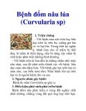 Bệnh đốm nâu lúa (Curvularia sp)