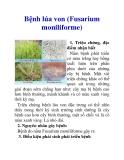 Bệnh lúa von (Fusarium moniliforme)