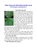 Bệnh Sương mai (đốm phấn) hại đậu tương (Peronospora manshurica )