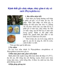 Bệnh thối gốc chảy nhựa, chảy gôm ở cây có múi (Phytophthora)