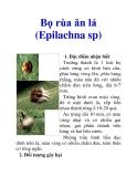 Bọ rùa ăn lá (Epilachna sp)