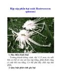 Rệp sáp phấn hại xoài( Rastrococcus spinosus)