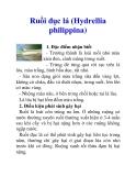 Ruồi đục lá (Hydrellia philippina)