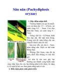 Sâu năn (Pachydiplosis oryzae)