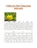 Chăm sóc Mai Vàng trong mùa mưa