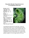 Rong đuôi chồn/chó (Tropical hornwort)
