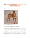 Tìm hiểu về chó săn Tây Ban Nha – Chó Podenco Ibicenco