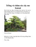 Trồng và chăm sóc cây me bonsai