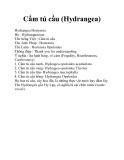 Cẩm tú cầu (Hydrangea)