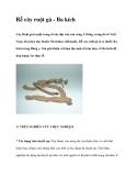 Rễ cây ruột gà - Ba kích
