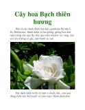 Cây hoa Bạch thiên hương