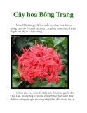 Cây hoa Bông Trang