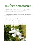 Họ Ô rô Acanthaceae
