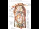 Giải phẫu bụng