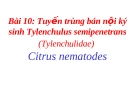 Tuyến trùng bán nội ký sinh Tylenchulus semipenetrans