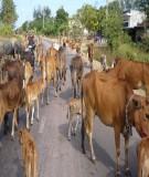Báo cáo khoa học:   Ảnh hưởng của một số yếu tố đến việc sử dụng rơm vỡ thân cây ngô lỡm thức ăn cho trâu bò tại các tỉnh phía bắc