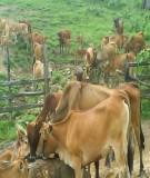Báo cáo khoa học: Tình hình chăn nuôi và áp dụng các tiến bộ kỹ thuật trong nuôi dưỡng trâu bò tại huyện vĩnh tường - vĩnh phúc