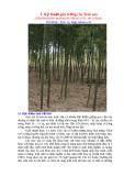 Kỹ thuật gây trồng cây Trúc sào